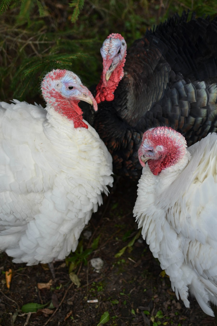 russian turkeys, pavo ruso
