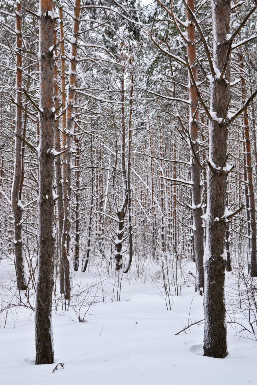 snow forest in Russia
